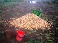 Массовое захоронение картофеля